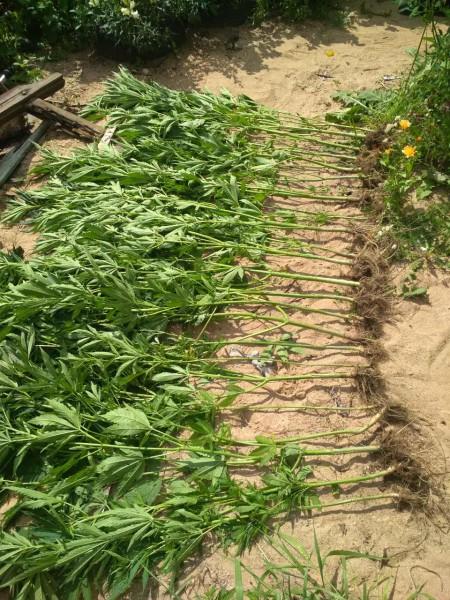 В Тверской области сотрудниками полиции выявлен факт незаконного культивирования наркосодержащих растений