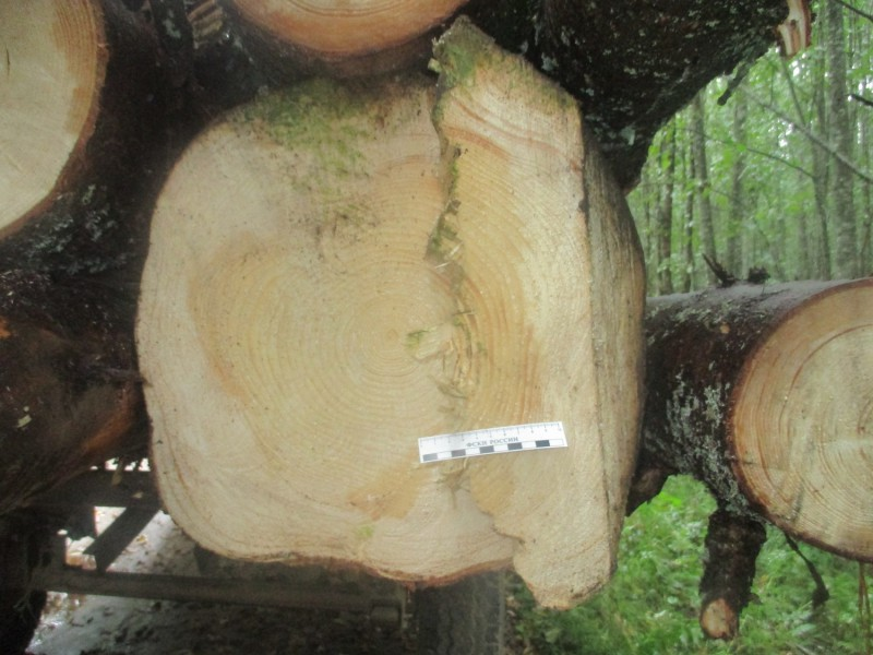В Тверской области полицейские пресекли незаконную рубку леса в особо крупном размере