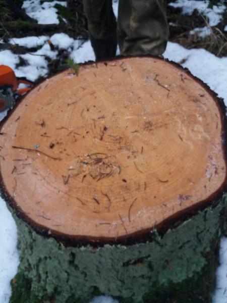 В Тверской области задержан подозреваемый в организации незаконной рубки леса