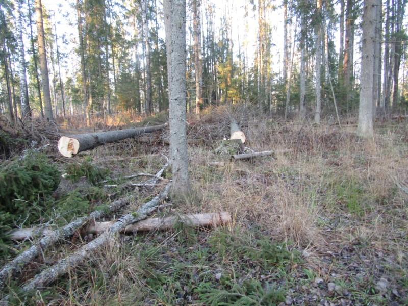 В Тверской области полицейские задержали «черных» лесорубов