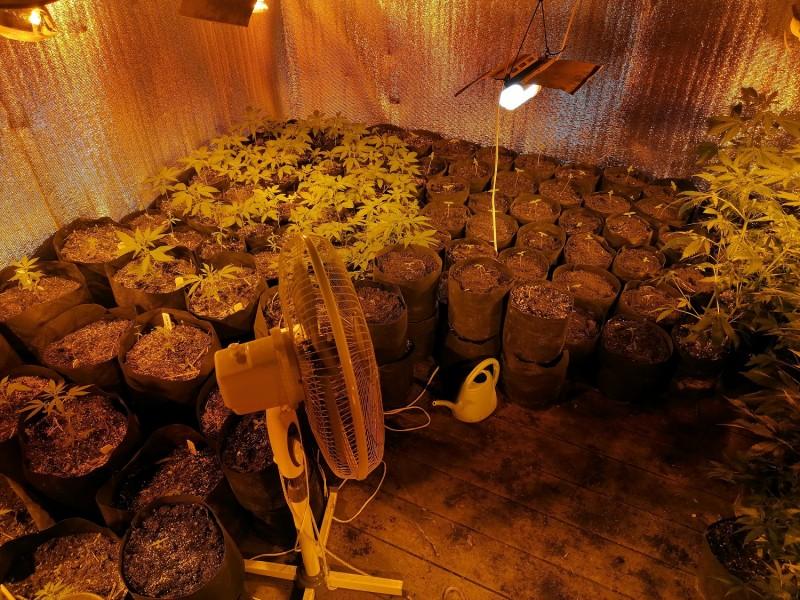 В Тверской области сотрудники полиции пресекли незаконное культивирование конопли