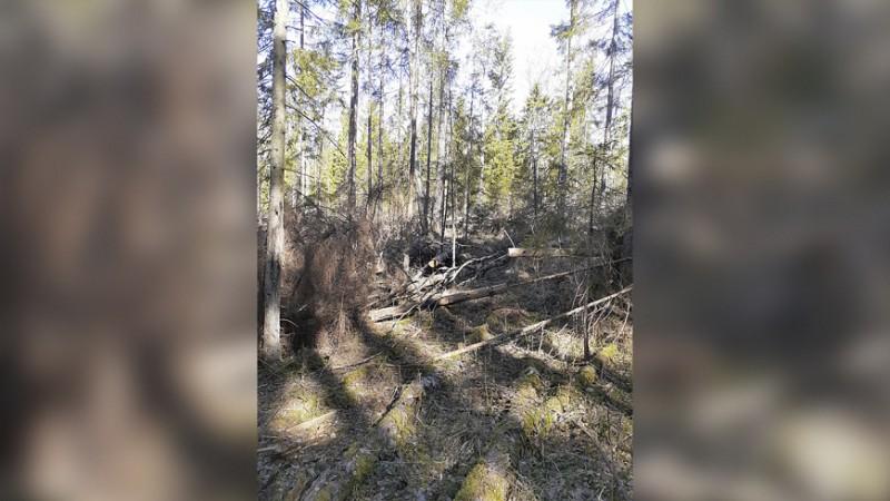 Пятеро жителей Тверской области предстанут перед судом за незаконную рубку лесных насаждений